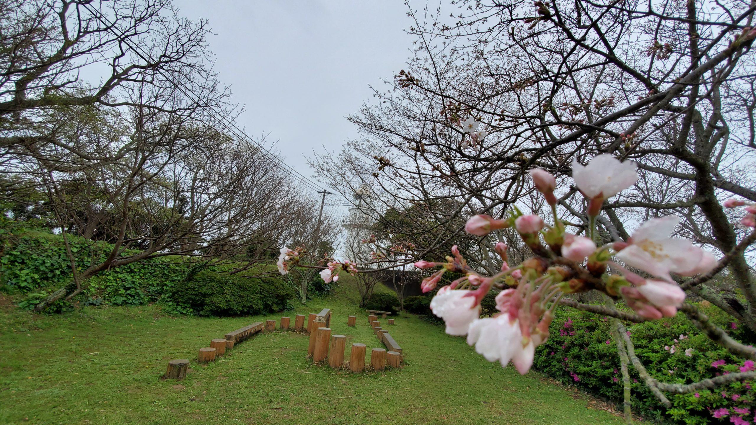 樺島灯台桜情報